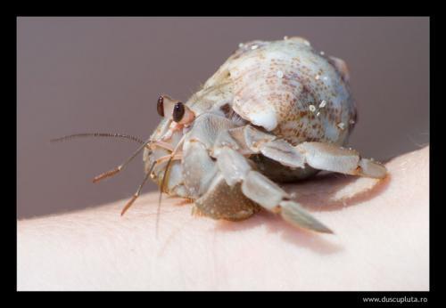 sand crab on hand