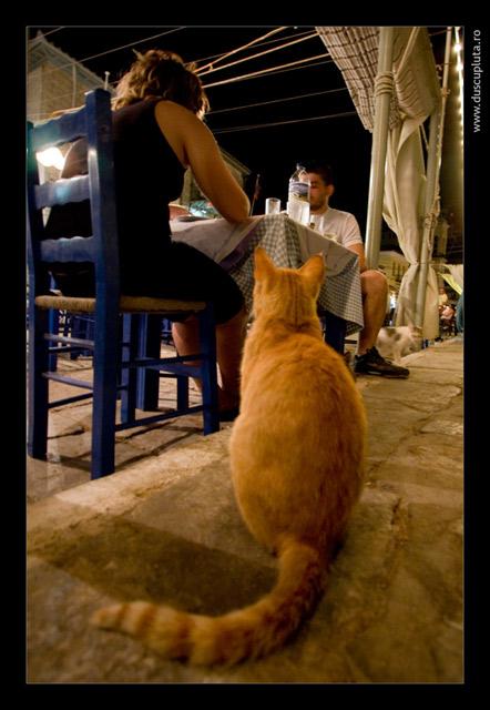 pisica cersetoare