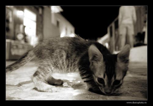 pisici mici